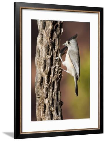 Black-Crested Titmouse Bird Foraging on Cholla Cactus, Davis Mountains, Texas, USA-Larry Ditto-Framed Art Print