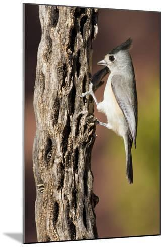 Black-Crested Titmouse Bird Foraging on Cholla Cactus, Davis Mountains, Texas, USA-Larry Ditto-Mounted Photographic Print