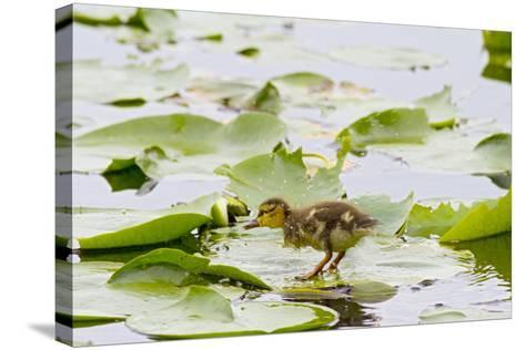 Mallard Duck, Duckling Wildlife, Juanita Bay Wetland, Washington, USA-Jamie & Judy Wild-Stretched Canvas Print