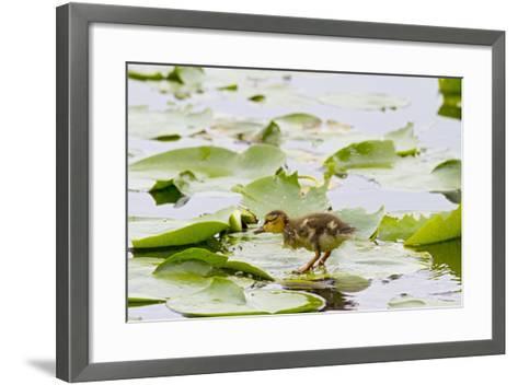 Mallard Duck, Duckling Wildlife, Juanita Bay Wetland, Washington, USA-Jamie & Judy Wild-Framed Art Print