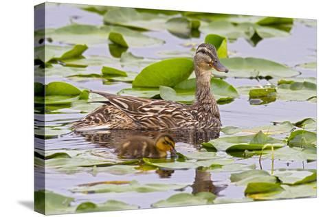 Mallard Duck, Duckling Wildlife, Juanita Bay Wetland, Washington, USA-Jamie & Judy Wild-Stretched Canvas Print