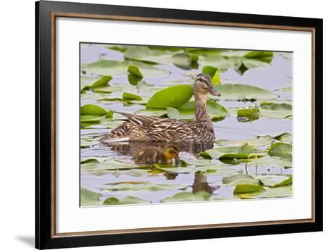 Mallard Duck, Duckling Wildlife, Juanita Bay Wetland, Washington, USA-Jamie & Judy Wild-Framed Art Print