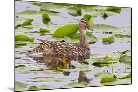 Mallard Duck, Duckling Wildlife, Juanita Bay Wetland, Washington, USA-Jamie & Judy Wild-Mounted Photographic Print