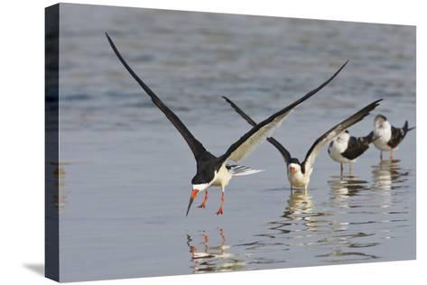 Black Skimmers, Bird on the Laguna Madre, Texas, USA-Larry Ditto-Stretched Canvas Print