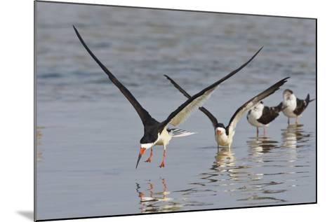 Black Skimmers, Bird on the Laguna Madre, Texas, USA-Larry Ditto-Mounted Photographic Print
