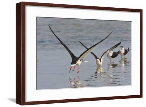 Black Skimmers, Bird on the Laguna Madre, Texas, USA-Larry Ditto-Framed Art Print
