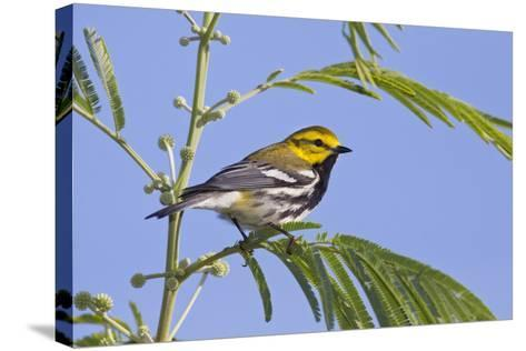 Black-Throated Green Warbler, Bird, Male Perched-Larry Ditto-Stretched Canvas Print