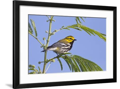Black-Throated Green Warbler, Bird, Male Perched-Larry Ditto-Framed Art Print