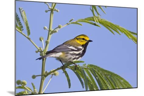 Black-Throated Green Warbler, Bird, Male Perched-Larry Ditto-Mounted Photographic Print
