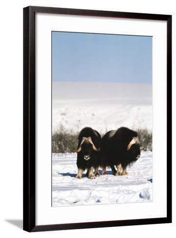 Musk Ox Bull Wildlife, Arctic National Wildlife Refuge, Alaska, USA-Hugh Rose-Framed Art Print