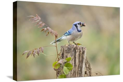 Blue Jay Bird, Adults on Log with Acorns, Autumn, Texas, USA-Larry Ditto-Stretched Canvas Print