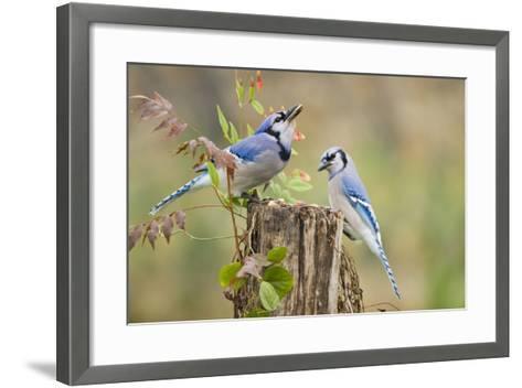 Blue Jay Bird, Adults on Log with Acorns, Autumn, Texas, USA-Larry Ditto-Framed Art Print