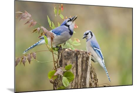 Blue Jay Bird, Adults on Log with Acorns, Autumn, Texas, USA-Larry Ditto-Mounted Photographic Print