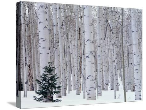 Aspen and Douglas Fir, Manti-Lasal National Forest, La Sal Mountains, Utah, USA-Scott T^ Smith-Stretched Canvas Print