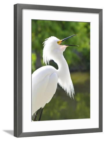 Snowy Egret Bird, Everglades, Florida, USA-Michael DeFreitas-Framed Art Print