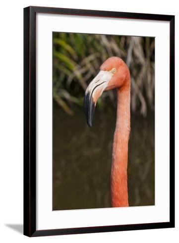 American Flamingo Bird, Gatorland Orlando, Florida, USA-Michael DeFreitas-Framed Art Print