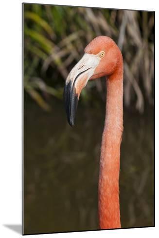 American Flamingo Bird, Gatorland Orlando, Florida, USA-Michael DeFreitas-Mounted Photographic Print