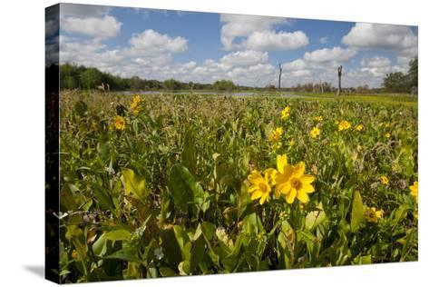 Wetland Sunflowers, Emergent Aquatic Flora, Brazos Bend State Park Marsh, Texas, USA-Larry Ditto-Stretched Canvas Print