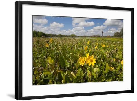 Wetland Sunflowers, Emergent Aquatic Flora, Brazos Bend State Park Marsh, Texas, USA-Larry Ditto-Framed Art Print