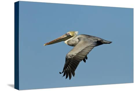 Brown Pelican Bird in Flight, Texas Coast, USA-Larry Ditto-Stretched Canvas Print