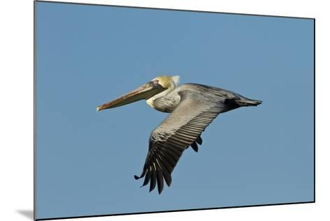 Brown Pelican Bird in Flight, Texas Coast, USA-Larry Ditto-Mounted Photographic Print