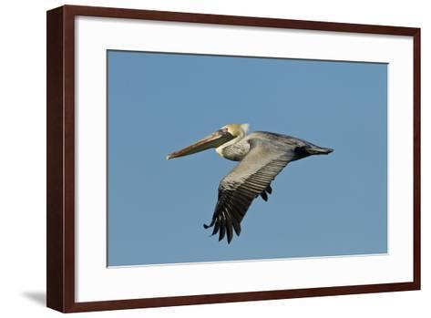 Brown Pelican Bird in Flight, Texas Coast, USA-Larry Ditto-Framed Art Print