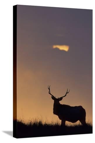 Sunset, Tule Elk Wildlife, Point Reyes National Seashore, California, USA-Gerry Reynolds-Stretched Canvas Print
