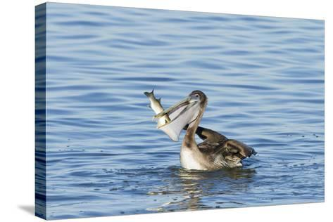 Brown Pelican Bird Eating Mullet in Laguna Madre, Texas, USA-Larry Ditto-Stretched Canvas Print