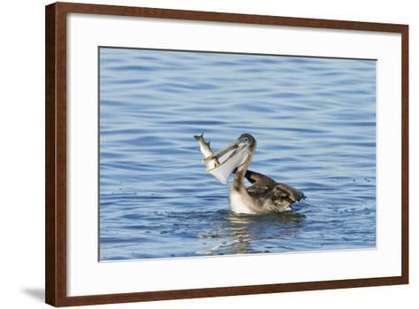 Brown Pelican Bird Eating Mullet in Laguna Madre, Texas, USA-Larry Ditto-Framed Art Print