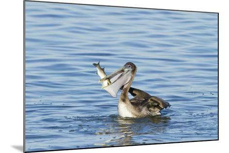 Brown Pelican Bird Eating Mullet in Laguna Madre, Texas, USA-Larry Ditto-Mounted Photographic Print