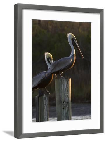 Brown Pelican Bird Sunning on Pilings in Aransas Bay, Texas, USA-Larry Ditto-Framed Art Print