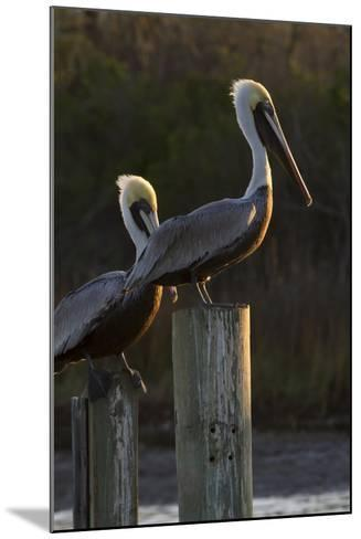 Brown Pelican Bird Sunning on Pilings in Aransas Bay, Texas, USA-Larry Ditto-Mounted Photographic Print