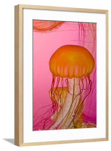 Shedd Aquarium, Jellyfish, NE Pacific Sea Nettle Marine Life, Chicago, Illinois-Cindy Miller Hopkins-Framed Art Print