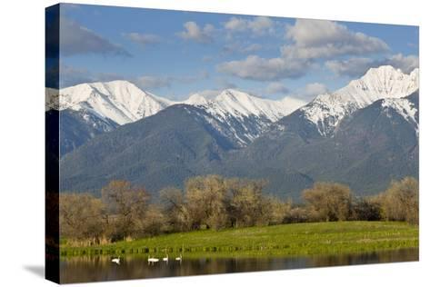 Trumpeter Swan Birds in Pond, Mission Mountain Range, Ninepipe, Ronan, Montana, USA-Chuck Haney-Stretched Canvas Print