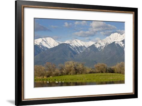 Trumpeter Swan Birds in Pond, Mission Mountain Range, Ninepipe, Ronan, Montana, USA-Chuck Haney-Framed Art Print