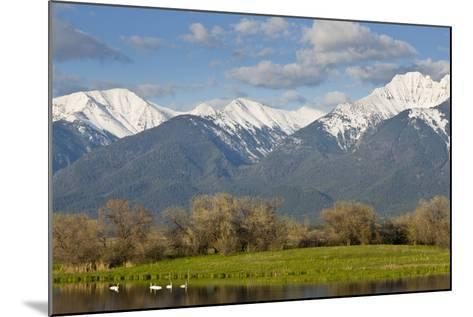 Trumpeter Swan Birds in Pond, Mission Mountain Range, Ninepipe, Ronan, Montana, USA-Chuck Haney-Mounted Photographic Print