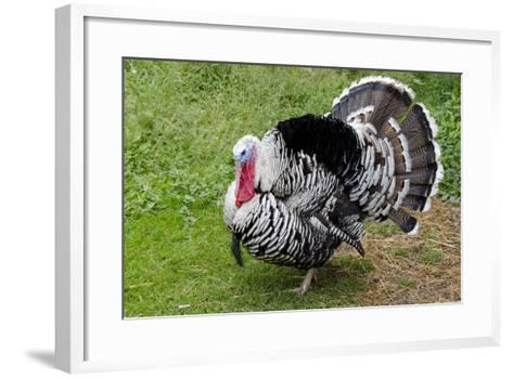Barnyard Tom Turkey, Farmers' Museum, Cooperstown, New York, USA-Cindy Miller Hopkins-Framed Art Print