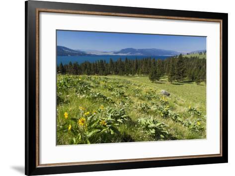 Arrowleaf Balsamroot Blooming on Wild Horse Island State Park, Montana, USA-Chuck Haney-Framed Art Print