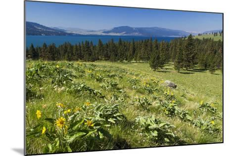 Arrowleaf Balsamroot Blooming on Wild Horse Island State Park, Montana, USA-Chuck Haney-Mounted Photographic Print