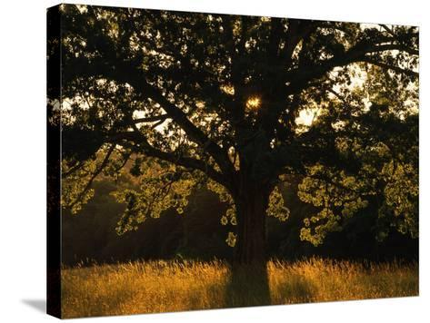 White Oak Tree, Great Smoky Mountains National Park, Cades Cove, Tennessee, USA-Adam Jones-Stretched Canvas Print