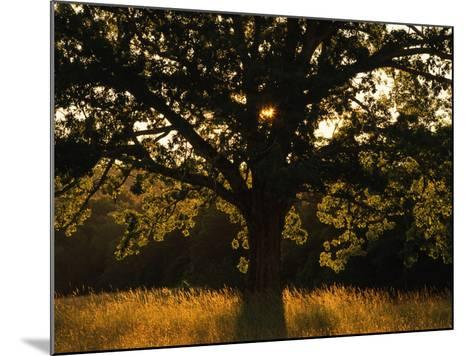 White Oak Tree, Great Smoky Mountains National Park, Cades Cove, Tennessee, USA-Adam Jones-Mounted Photographic Print
