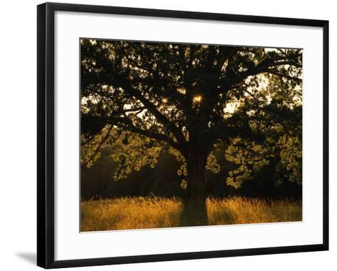 White Oak Tree, Great Smoky Mountains National Park, Cades Cove, Tennessee, USA-Adam Jones-Framed Art Print