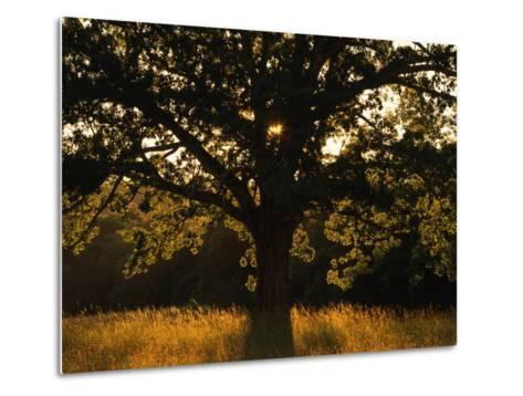 White Oak Tree, Great Smoky Mountains National Park, Cades Cove, Tennessee, USA-Adam Jones-Metal Print