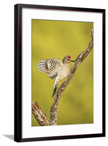 Golden-Fronted Woodpecker Bird, Male Perched in Native Habitat, South Texas, USA-Larry Ditto-Framed Art Print