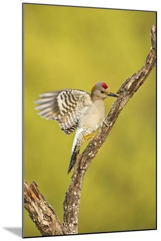 Golden-Fronted Woodpecker Bird, Male Perched in Native Habitat, South Texas, USA-Larry Ditto-Mounted Photographic Print