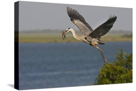 Great Blue Heron (Ardea Herodias) Bird Flying with Nest Material, Texas, USA-Larry Ditto-Stretched Canvas Print