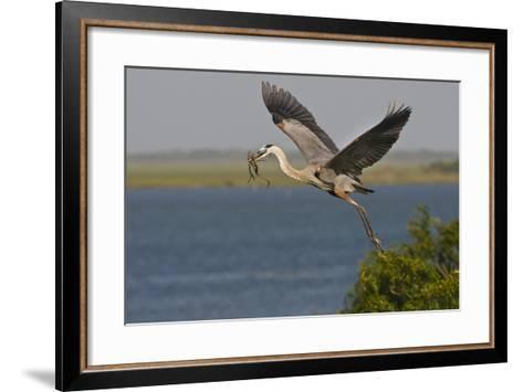 Great Blue Heron (Ardea Herodias) Bird Flying with Nest Material, Texas, USA-Larry Ditto-Framed Art Print