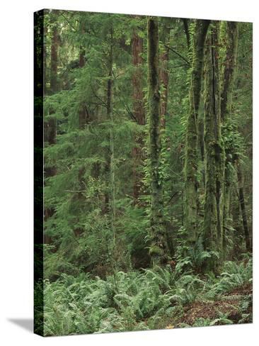Rainforest, Olympic Peninsula, Olympic National Park, Washington State, USA-Walter Bibikow-Stretched Canvas Print