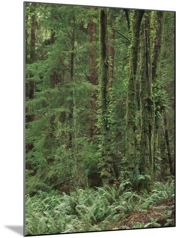 Rainforest, Olympic Peninsula, Olympic National Park, Washington State, USA-Walter Bibikow-Mounted Photographic Print