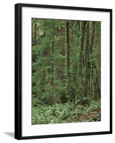 Rainforest, Olympic Peninsula, Olympic National Park, Washington State, USA-Walter Bibikow-Framed Art Print